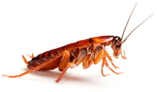 Desinsectación - Plagas de cucarachas