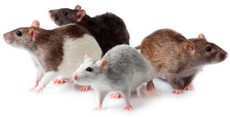 Desratización - Plagas de ratas y roedores